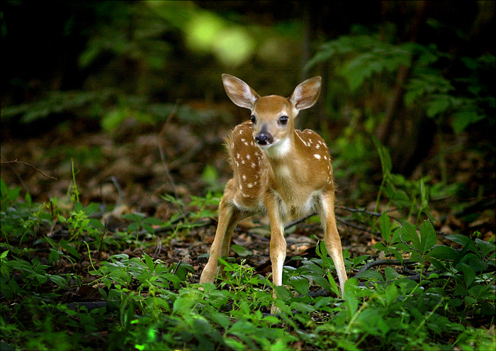 AFTERNOON OF A FAWN - And God said, Let the earth bring forth the living creature after his kind, cattle, and creeping thing, and beast of the earth after his kind: and it was so. - The Book of Genesis 1:024