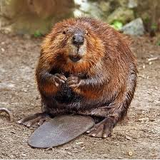 What's the beaver's connection with raspberries? DOn't ask.