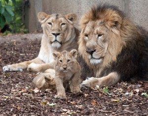 A family of lions has been killed by the Copenhagen Zoo.